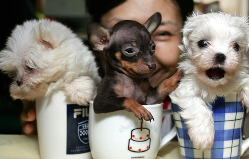 "Teacup"" puppies are becoming popular. The continuing recession has"