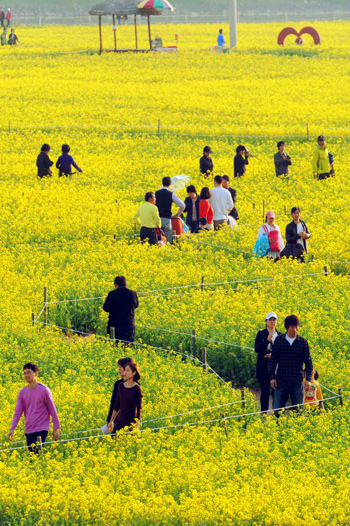 People walk through the nations largest canola flower fields along the Nakdong River in Changnyeong, South Gyeongsang Province on April 24, 2011.