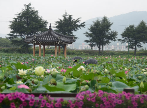 Gyeongjus lotus blossom carries rich scent of history the chosun gyeongjus lotus blossom carries rich scent of history the chosun ilbo english edition daily news from korea inside korea travel mightylinksfo