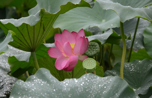 Gyeongjus Lotus Blossom Carries Rich Scent Of History The Chosun