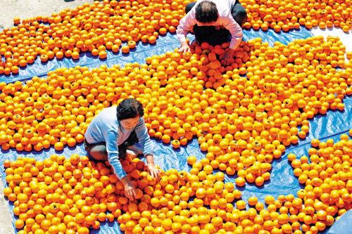 Farmers sort persimmons in Nonsan, South Chuncheong Province on Oct. 3, 2012.