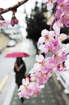 Cherry blossoms are in full bloom at Busan Baehwa School for the Deaf in the southern port city on Thursday.