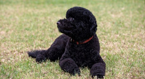 Sunny, the new Obama family dog, on the South Lawn of the White House on Aug. 19, 2013. /White House
