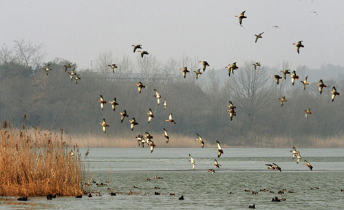 Baikal teals fly over a reservoir in Gochang, North Jeolla Province on Monday. /News 1