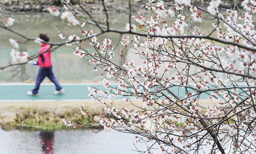 Cherry blossom at a stream in Busan on Thursday /News 1