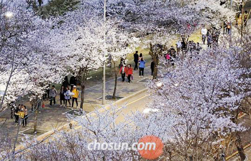 People enjoy cherry blossom in Yeouido, Seoul on Sunday.