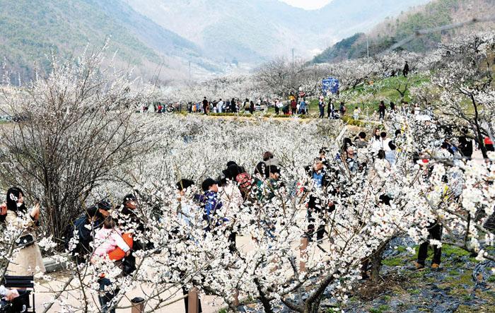2019030801321 1 - Ранняя весна - в Корее цветут деревья